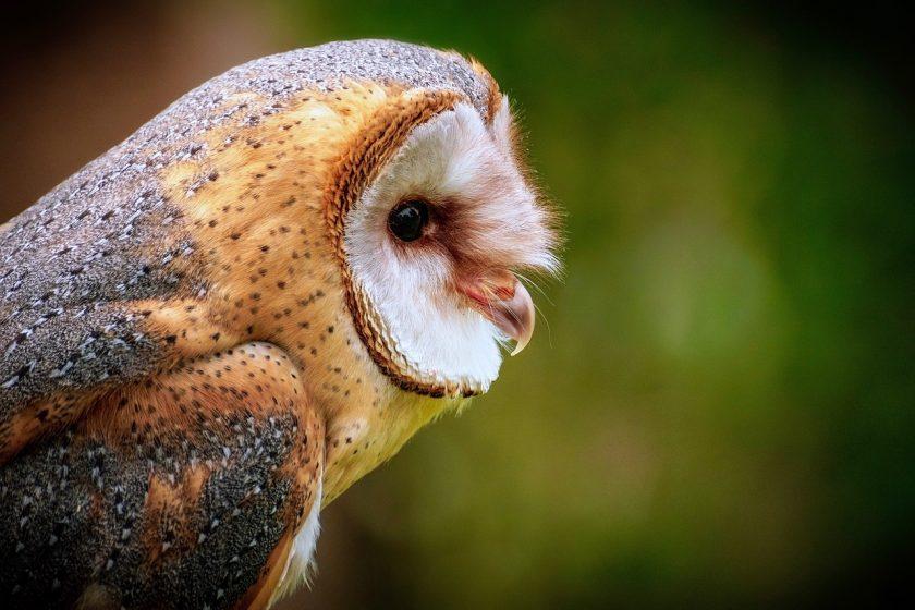 renkli baykuş